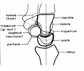 illustration of carpal bones lateral view
