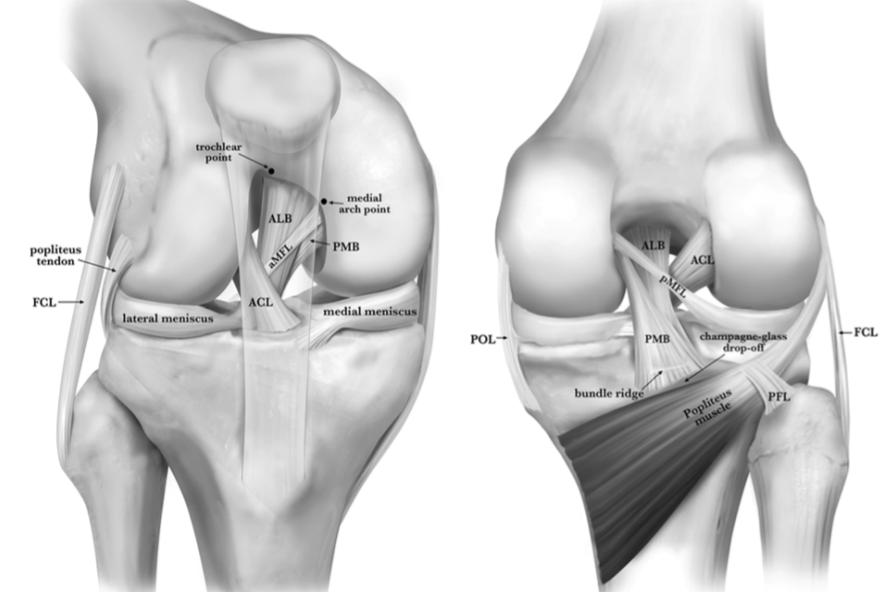 PCL anatomy illustration