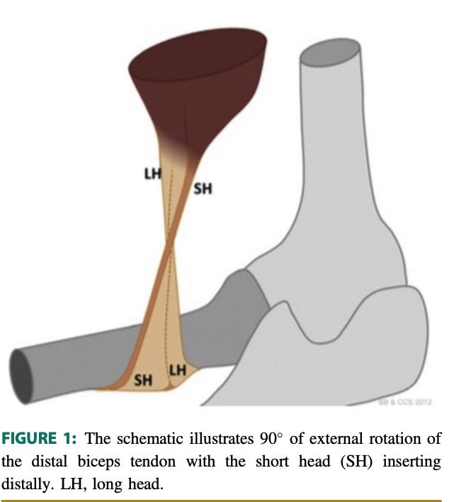Distal Biceps Anatomy