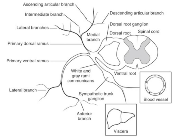 nerve anatomy of spine illustration