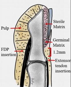 distal phalanx anatomy