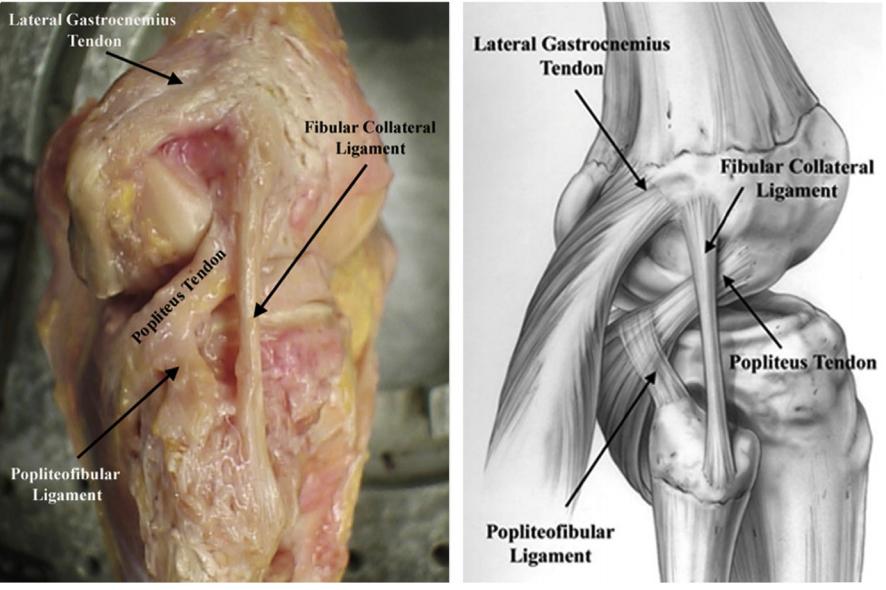LCL Anatomy